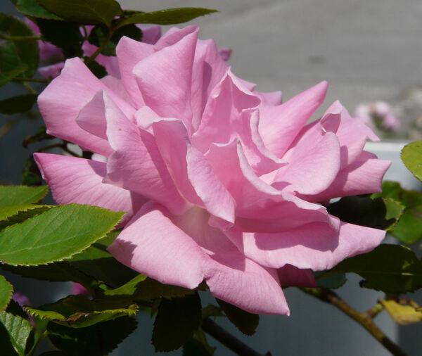 Rosa 'Zéphirine Drouhin ®'