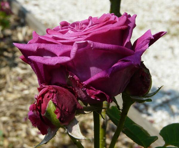 Rosa 'Duc d'Audiffret-Pasquier'