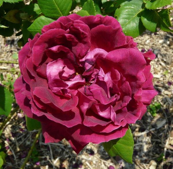 Rosa 'Duc of Edinburgh'