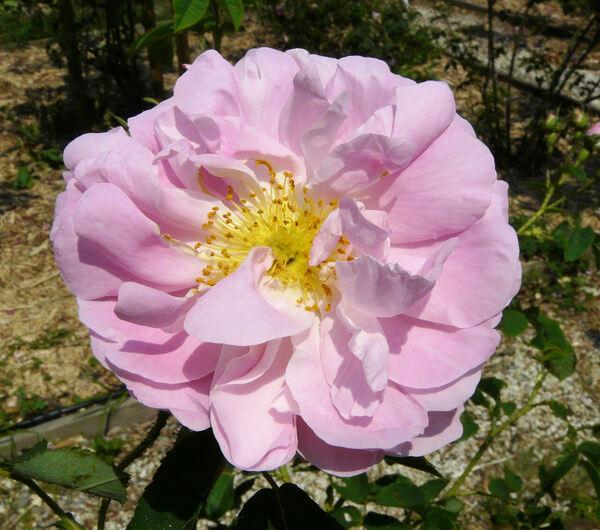 Rosa 'Amélia'
