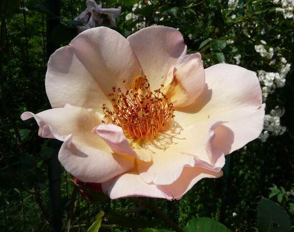 Rosa 'Meg'