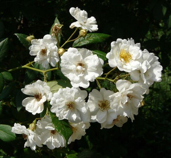 Rosa 'Rambling Rector'
