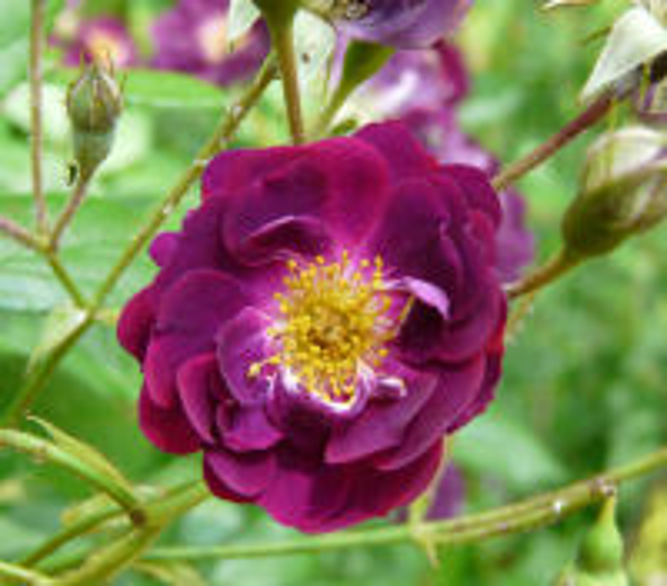 Rosa 'Violette'