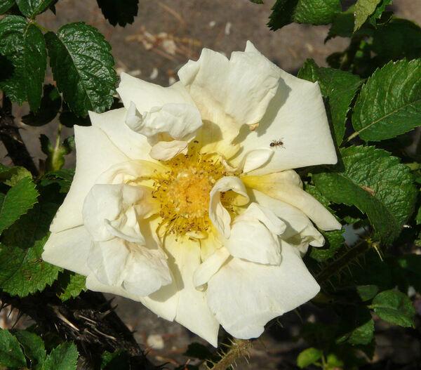 Rosa 'Agnes'