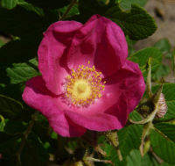 Rosa 'Cibles'