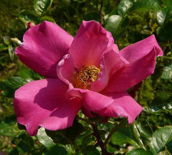Rosa 'Sanguinaire'