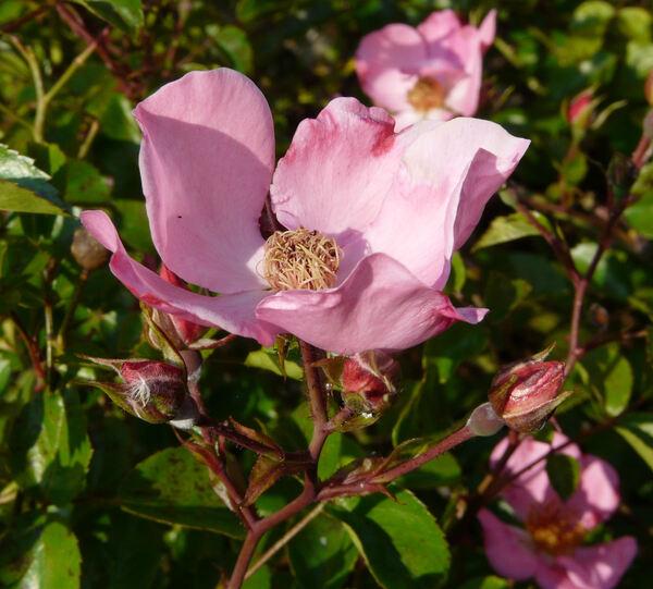 Rosa 'Felicitas ®'