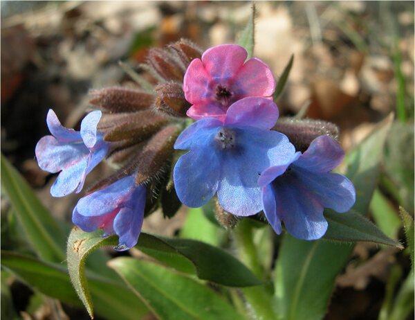 Pulmonaria vallarsae A.Kern. subsp. apennina (Cristof. & Puppi) L.Cecchi & Selvi