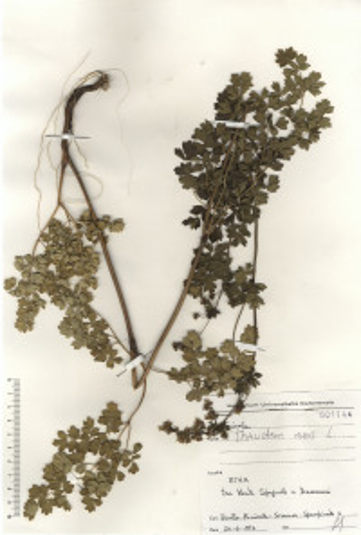Thalictrum minus L. subsp. minus