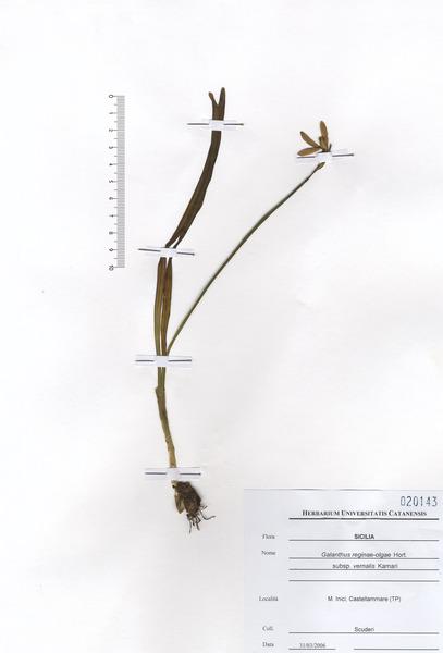 Galanthus reginae-olgae Orph. subsp. vernalis Kamari