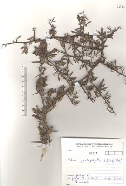 Rhus pentaphylla (Jacq.) Desf.