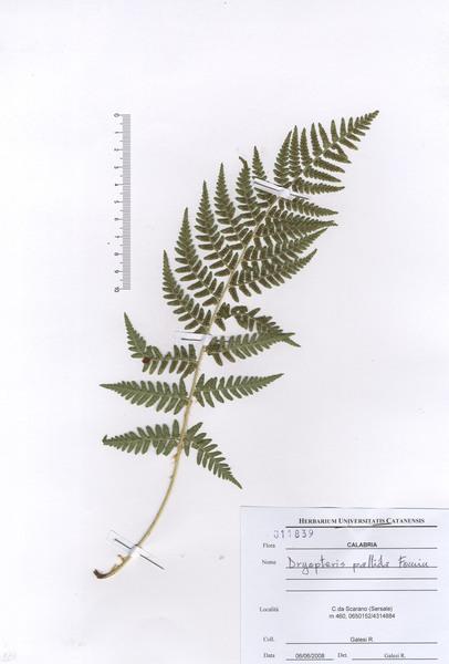 Dryopteris pallida (Bory) Maire & Petitm. subsp. pallida