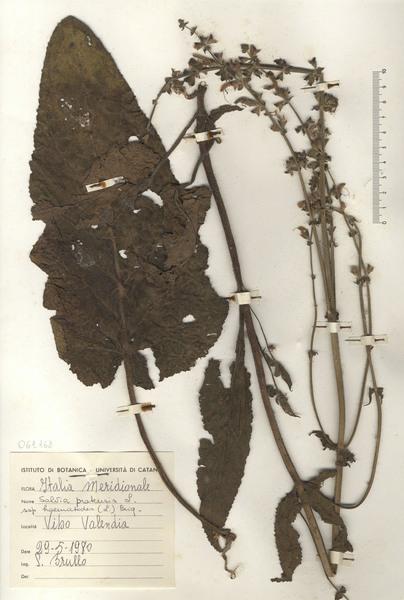 Salvia haematodes L.