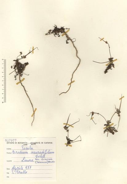 Erodium neuradifolium Delile ex Godr.