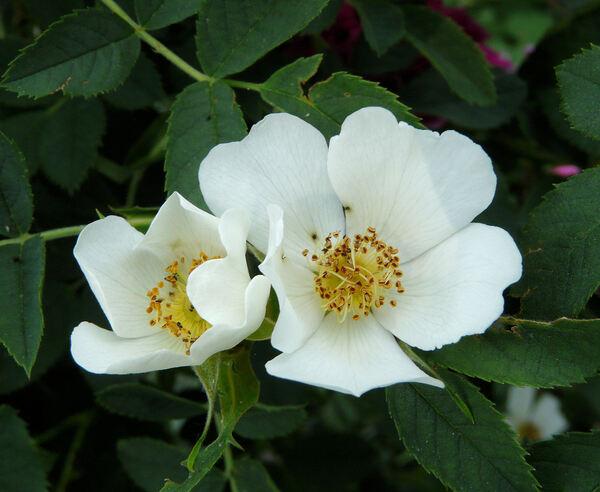 Rosa xanthina Lindl. f. hugonis (Hemsl.) A.V. Roberts