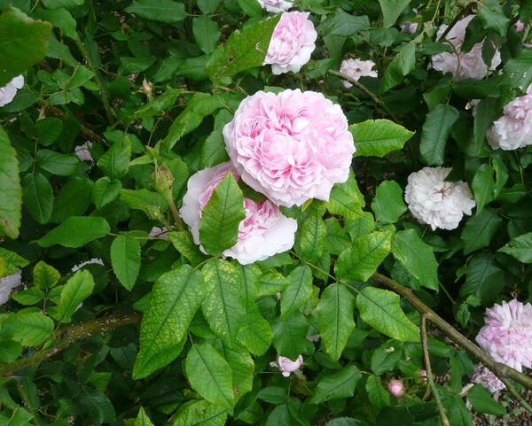 Rosa 'Kazanlik'