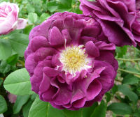 Rosa 'Tuscany Superb'