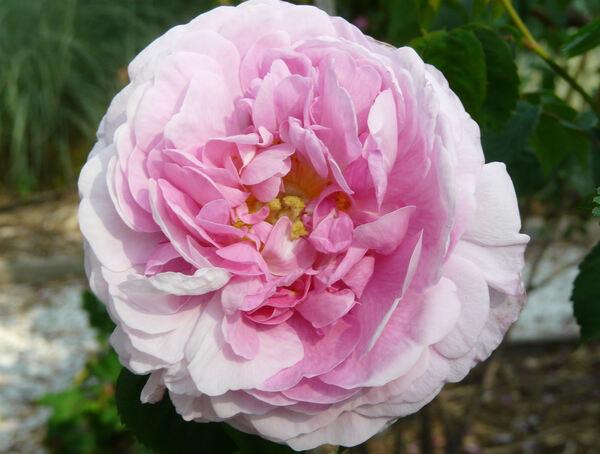 Rosa 'Gloire de France'