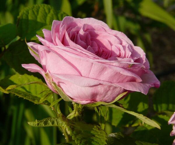 Rosa 'Duchesse de Rohan'
