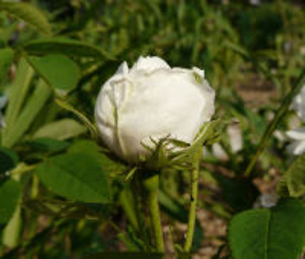 Rosa 'Blanche Fleur'