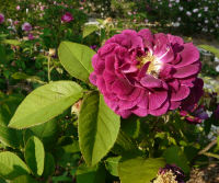 Rosa 'Haddington'