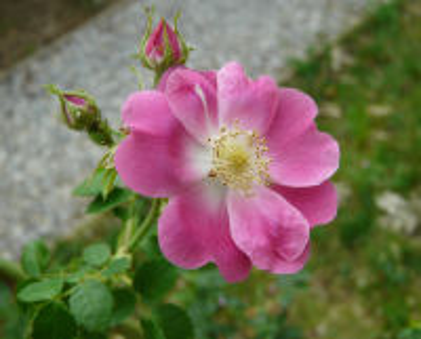 Rosa 'Pink Surprise'