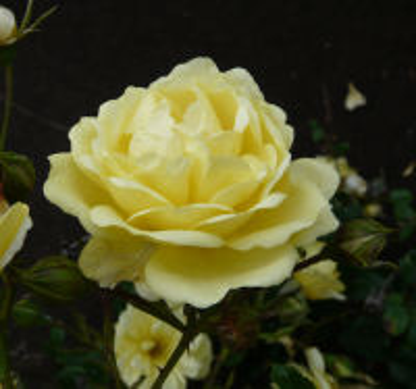 Rosa 'Smile'