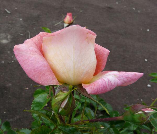 Rosa 'Sommersonne'