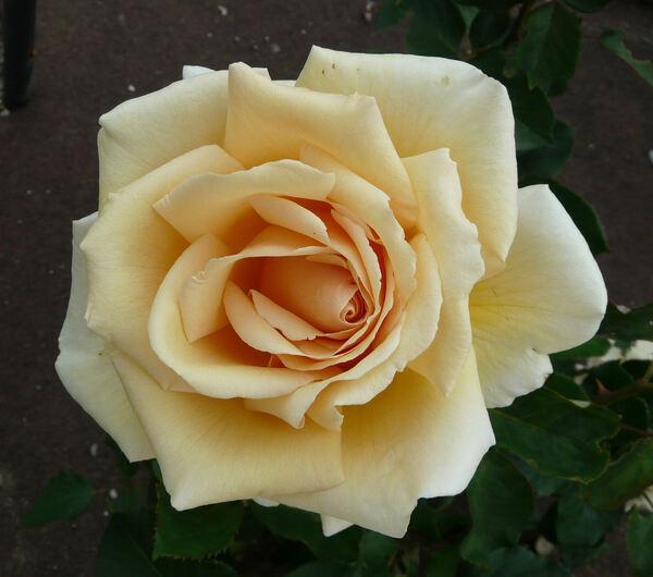 Rosa 'Valencia ®'