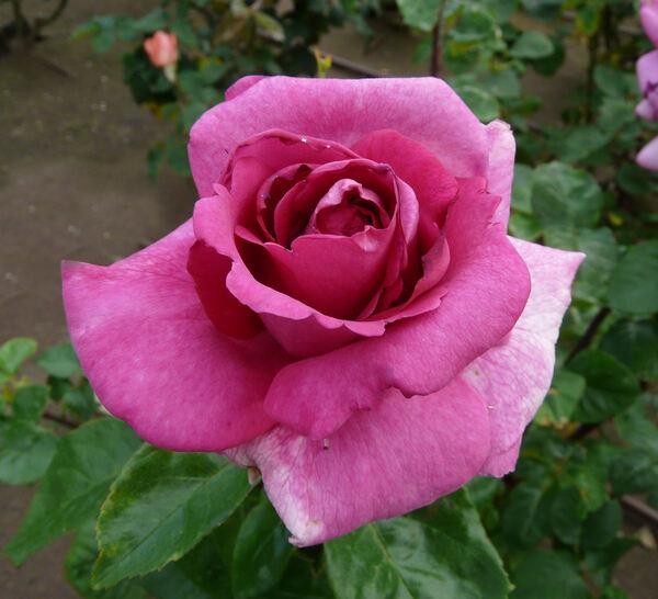 Rosa 'Purple Beauty'