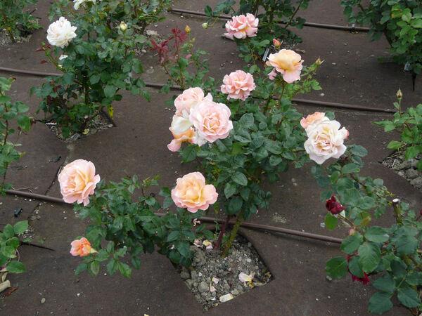 Rosa 'Rosemary Harkness'