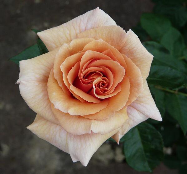Rosa 'Paco Rabanne ®'