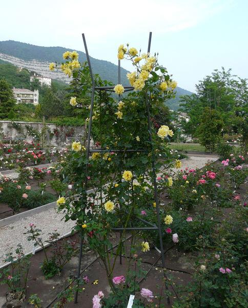 Rosa 'Gardener's Sunday'