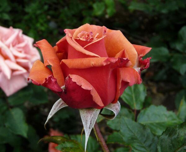 Rosa 'Rhosyn Margaret Williams'