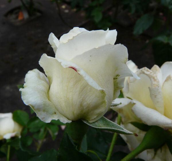 Rosa 'Beatrice I d'Este'