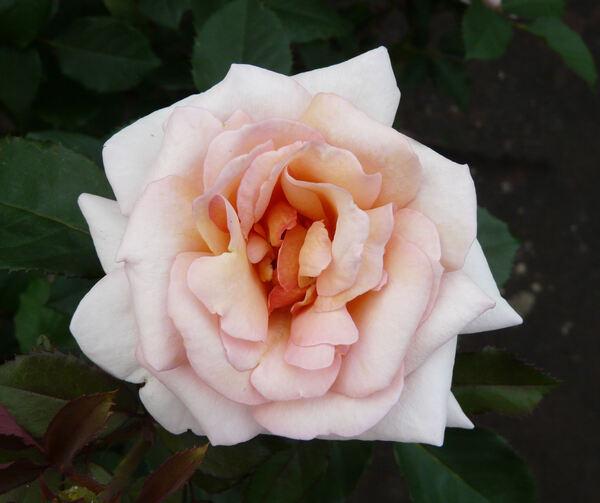Rosa 'Belle du Seigneur ®'