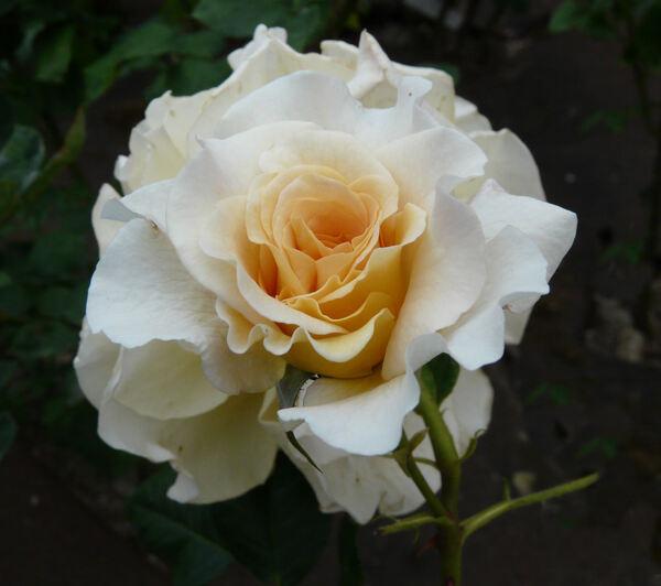 Rosa 'Comtessa ®'