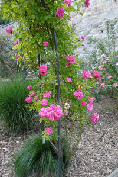 Rosa 'Pretty Pink ®'