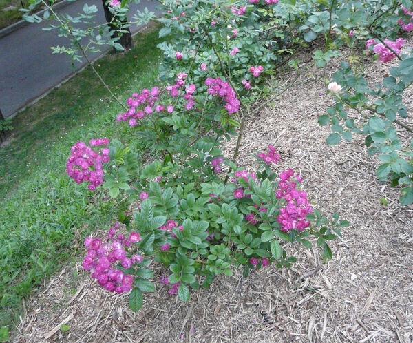Rosa 'Sibelius ®'