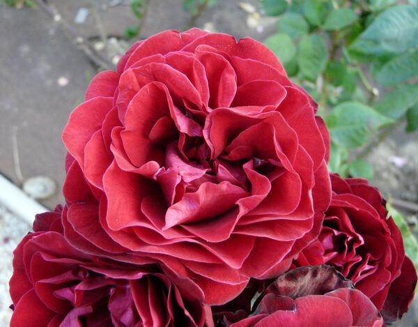 Rosa 'Amara'