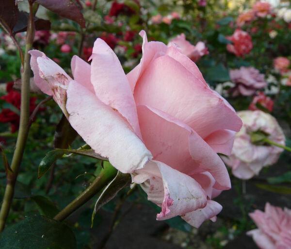 Rosa 'Flora'