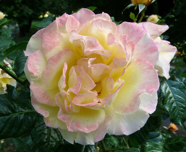 Rosa 'Rugelda ®'