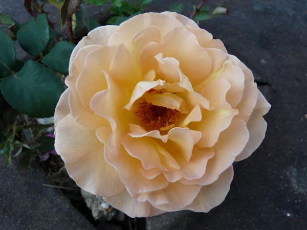 Rosa 'Whisky ®'