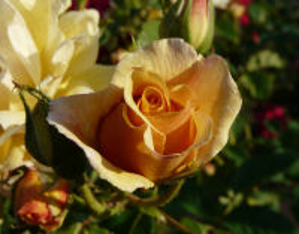 Rosa 'Barbara'