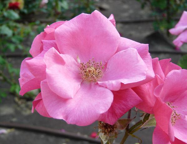 Rosa 'Margarethe van de Mandere'