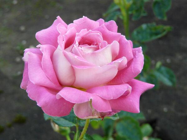 Rosa 'Tanger'
