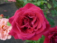 Rosa 'Red American Beauty'