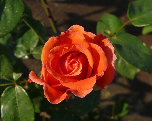 Rosa 'Roquebrune'