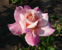 Rosa 'Pink Frost'