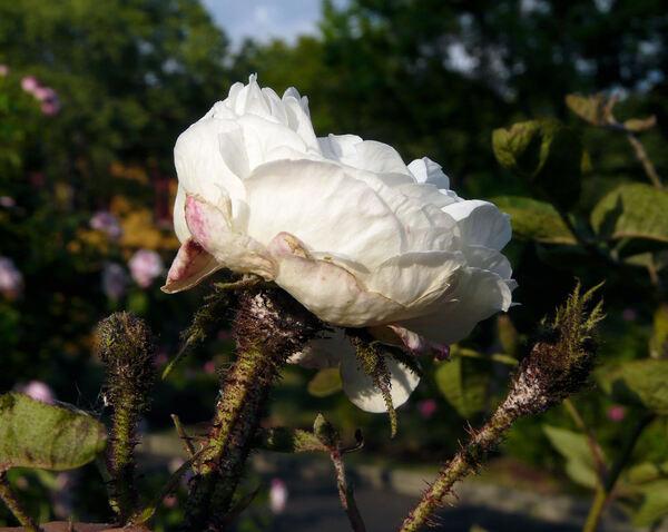 Rosa 'Blanche Moreau'